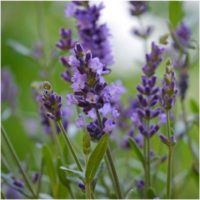 Lavender Essential Oil (Organic)